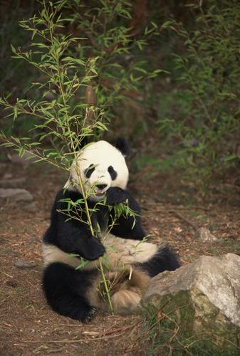 oso panda2-001