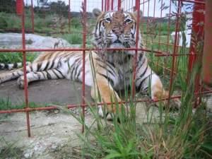 Tigre-Naturmaz