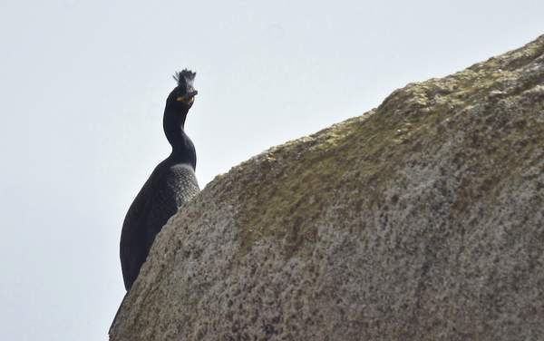 Corvo-cristado-Eirexas