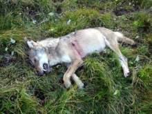 lobo-abatido-en-suiza